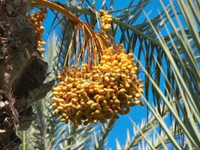 dates-on-the-palm-tree